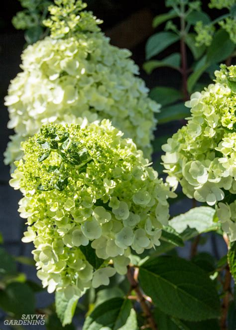 Panicle Hydrangeas: 3 No-fail Choices for Reliable Blooms